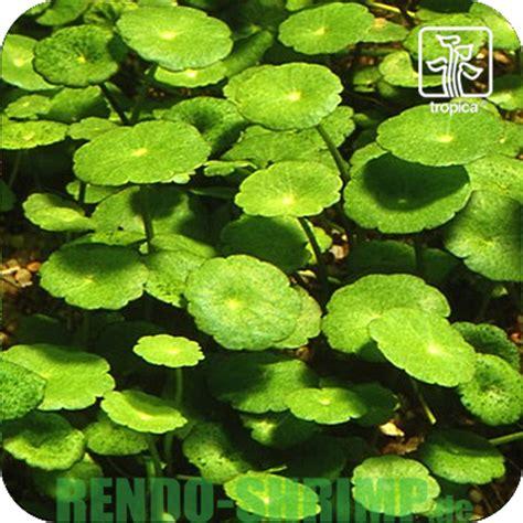 Große Pflanzen Kaufen 83 by Aquarienpflanzen Kaufen Aquariumpflanzen Rendo