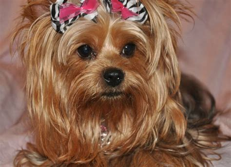haircuts for female yorkies yorkie haircuts omarshiwaychef female hairstyles ideas