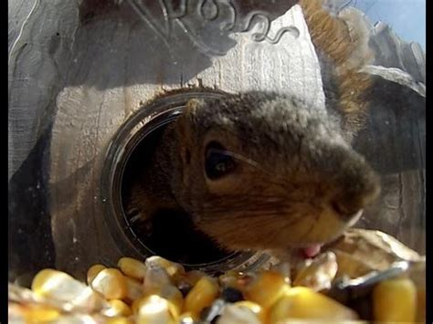 squirrel under glass feeder squirrel glass feeders by refined pallet