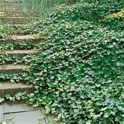 efeu schnell wachsende sorte house plants hedera ivies www coolgarden me