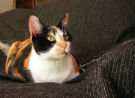 Cat Ct010 Brown Yellow 1 warrior cats in welchen der 5 clans geh 246 rst du