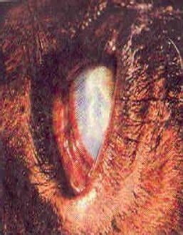 Obat Cacing Ternak obat penyakit cacing mata pada ternak