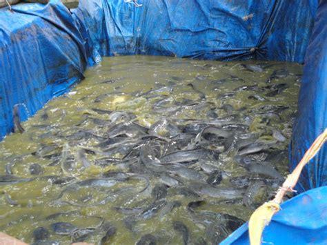 Pakan Ikan Lele Yang Masih Kecil modern farms budidaya lele kolam terpal sangat mudah