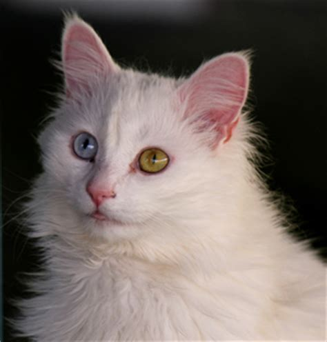 cats color vision why do some cats two different colored