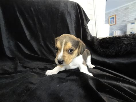 beagle puppies for sale in florida mini pocket beagle puppies for sale in south florida davie breeds picture