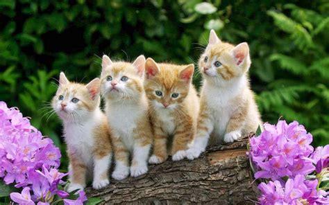 small cute kittens yellow wood violet flowers desktop