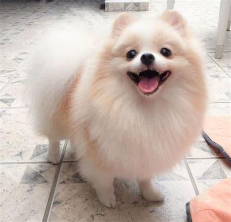 cute pomeranian haircuts cute little fluffy pomeranian dog adorable animals