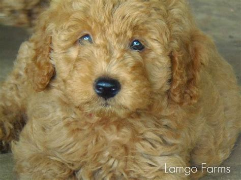 mini goldendoodles hypoallergenic 17 best ideas about goldendoodle breeders on
