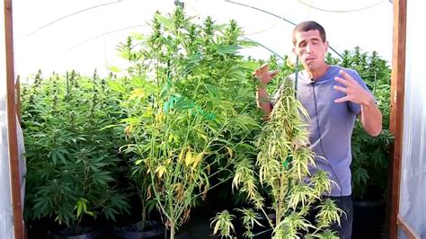 symptoms and solutions of moisture stress on cannabis plants cannabis plant low water stress symptoms thatdopekush