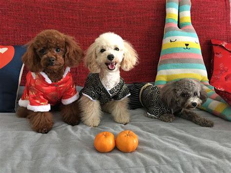 1000 images about doggy doos on pinterest poodles shih 1000 images about poodles on pinterest toy poodles dog