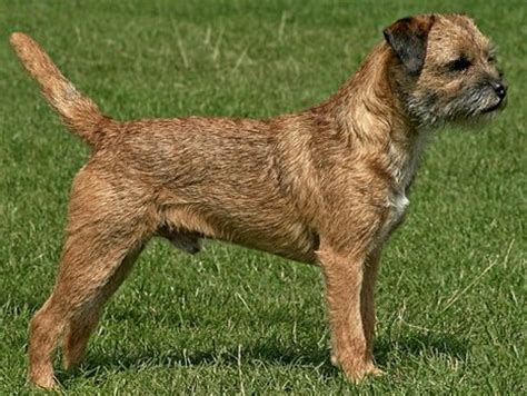 puppy frequently small amounts border terrier jagdterrier