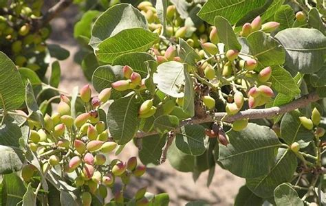 pista tree images pistachio cultivation information guide agrifarming in