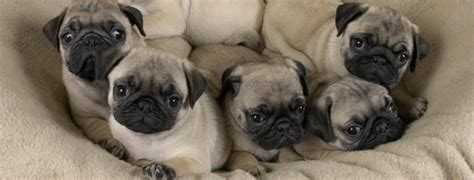 best pugs the best breeds for apartment living pet paw