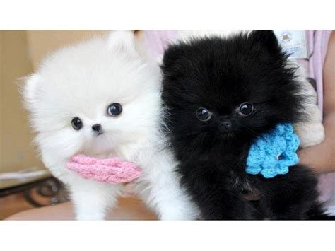 teacup pomeranian puppies for sale brisbane micro teacup pomeranian puppies for adoption buy and sell australian classifieds