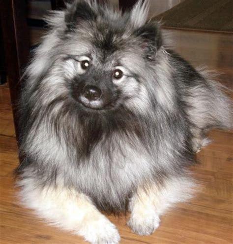 keeshond puppy lhasa apso pekingese mix