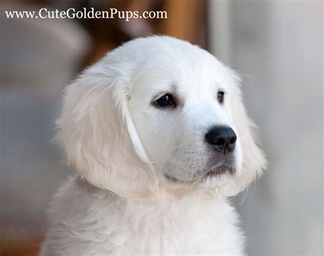 our golden retrievers our golden retrievers golden retriever breeder newton new jersey