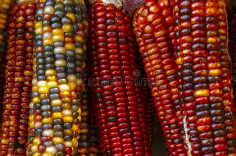 colorful corn colorful corn cobs royalty free stock photo image 27416115