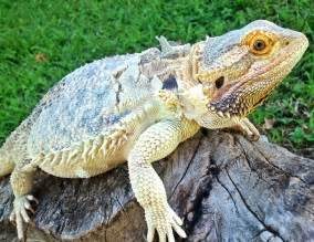 What Is Shedding by Skin Shedding In Bearded Dragons Pets Care