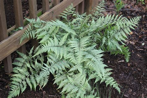 japanese painted fern bcmgva org