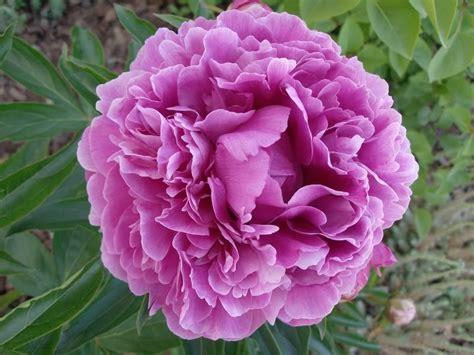 nomi di fiori in inglese piante da fiore