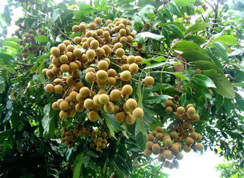 Tanaman Kelengkeng Longan cara membuat tanaman kelengkeng berbuah sepanjang tahun