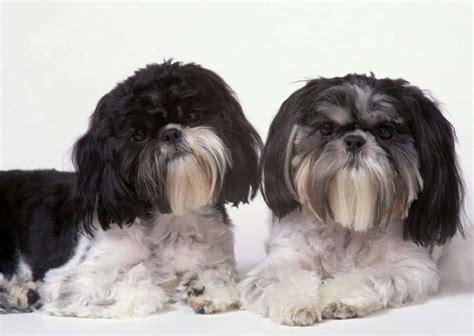 shih tzu china shih tzu razas perros mascotas