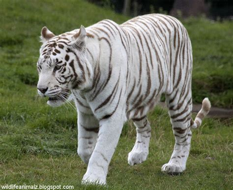 mp harimau the white tiger amazing facts images the wildlife