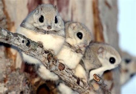 scoiattolo volante giapponese ecco a voi l animale pi 249 tenero mondo indovinate da