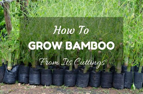 how to grow bamboo from its cuttings