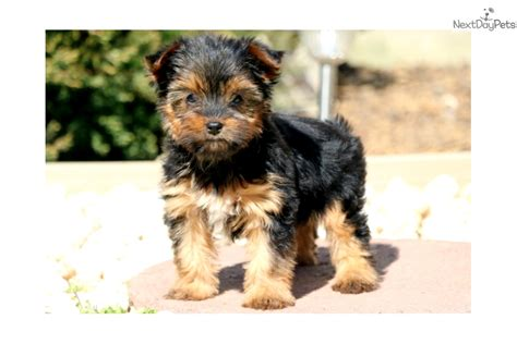 yorkies for sale in lancaster pa cinnamon yorkie black brown terrier for sale in lancaster