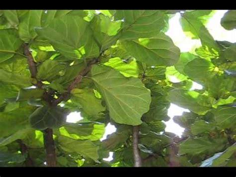 Ficus Lyrata Pflege by Ficus Pandurata Doovi