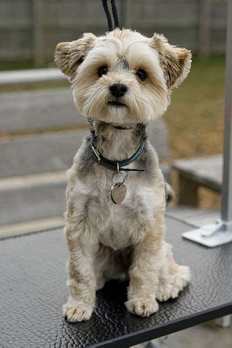 image gallery terrier haircuts image gallery terrier haircuts