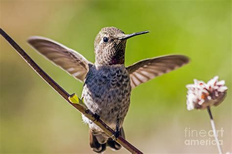 hummingbird photograph by kate brown