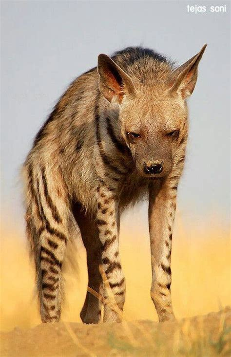 pin  kassidy nickey  hyenas animals striped hyena