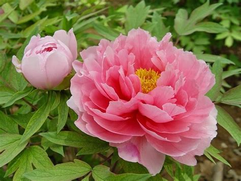 fiori di peonia peonia arbustiva fiori di piante coltivazione peonia