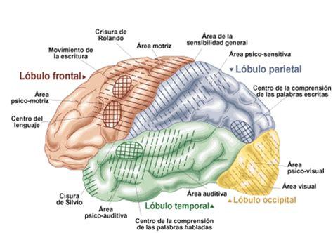 imagenes neuroanatomia pdf 10 caracter 237 sticas del cerebro