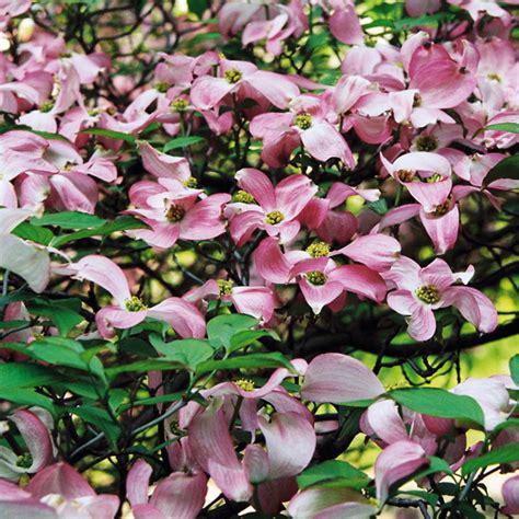 Japanischer Garten Pflanzen 352 by Pflanzen In Nanopics Amerikanischer Blumen Hartriegel