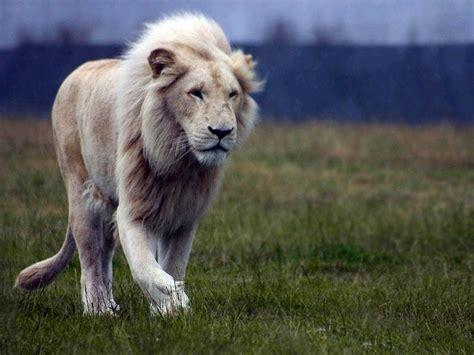imagenes de leones increibles imagenes de un leon blanco archivos imagenes de leones