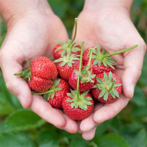 wie pflanze ich erdbeeren 4145 erdbeeren pflanzen die besten tipps brigitte de