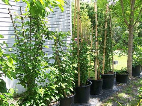 container gardening raspberries the citrus a ramble on brambles