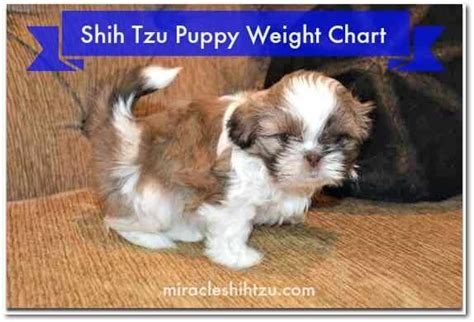 shih tzu growth chart imperial shih tzu weight assistedlivingcares
