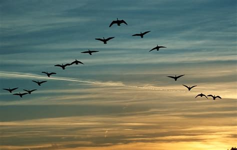 how to make migratory birds fall in love with your