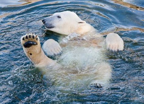 two polar bears in a bathtub bath time