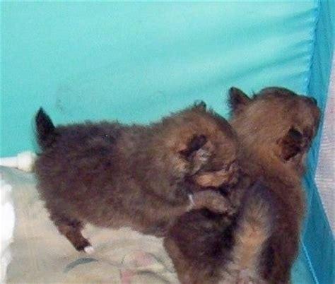 sheltie pomeranian puppies pomeranian sheltie mix puppies