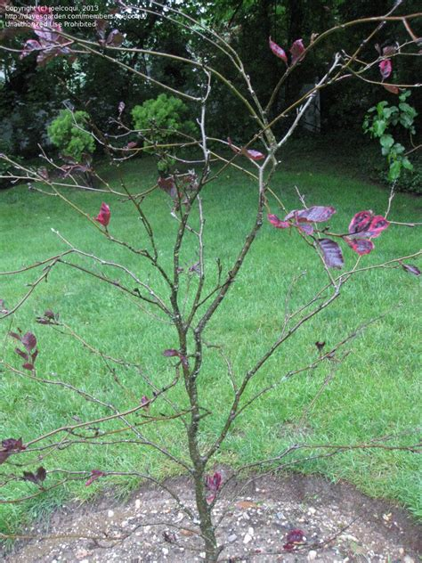 tri color beech tree problems garden pests and diseases tri colored beech tree almost