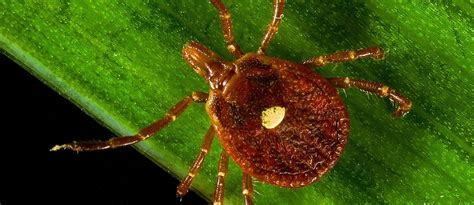 alpha gal  lone star tick nutritionfactsorg