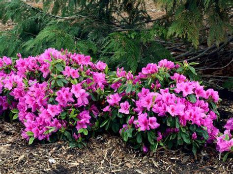 shrubs hgtv