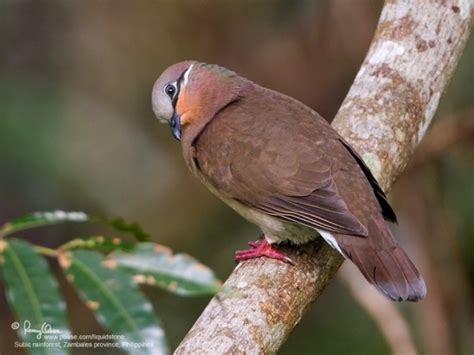 white eared brown dove birdforum opus