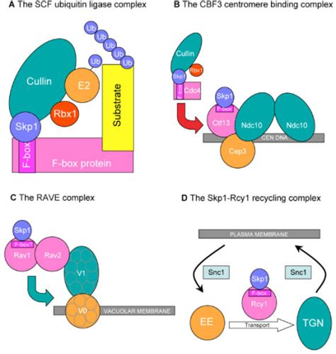 protein f box f box proteins that function with skp1 a the scf comp