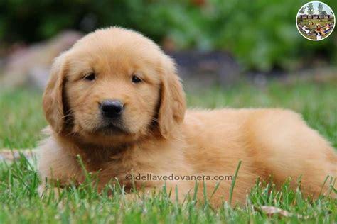 illinois golden retriever allevamento golden retriever vendita cuccioli